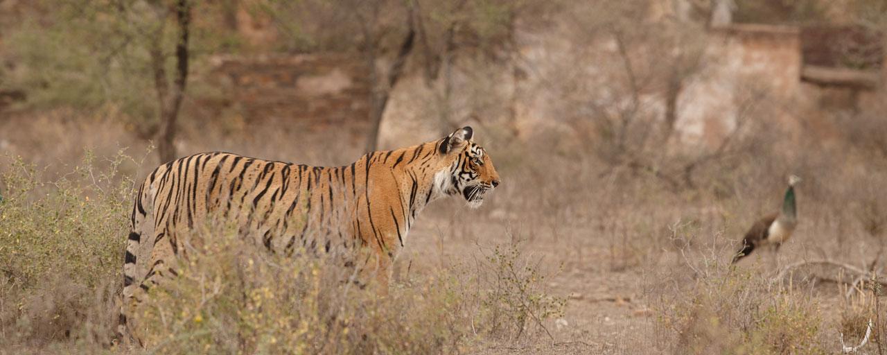 sites de rencontres de tigres pêche en ligne service de rencontres