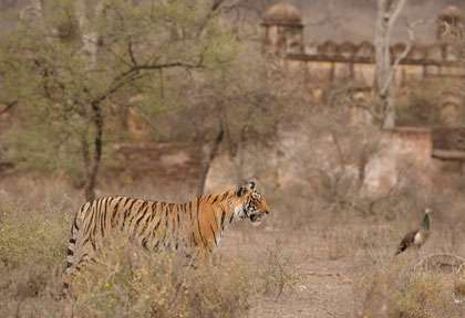 Parc national de Ranthambore