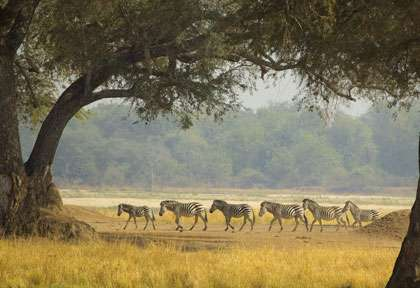 Zèbres à Mana Pools