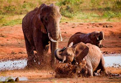 Eléphants rouges de Tsavo
